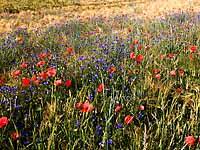 Biologisch bewirtschaftetes Gerstenfeld mit Mohn- und Kornblume